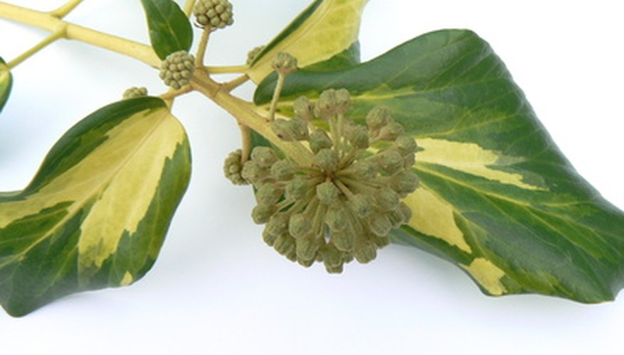 an ivy houseplant shows its alternate leaf arrangement - House Plant Identification By Leaf