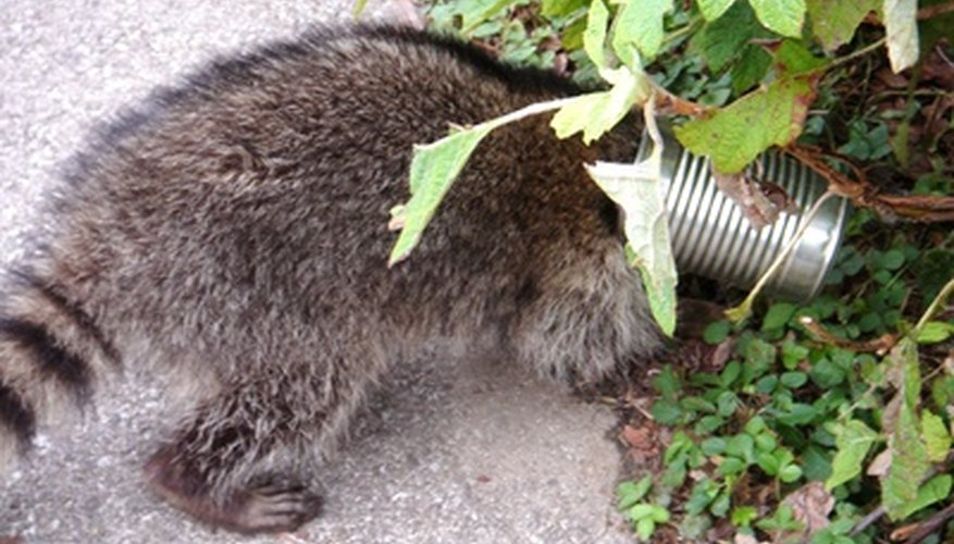 Raccoons can be pests to gardens and homes
