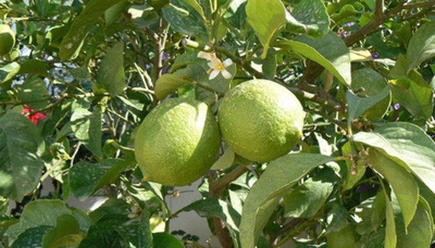 Meyer lemons are an attractive ornamental potted trees.