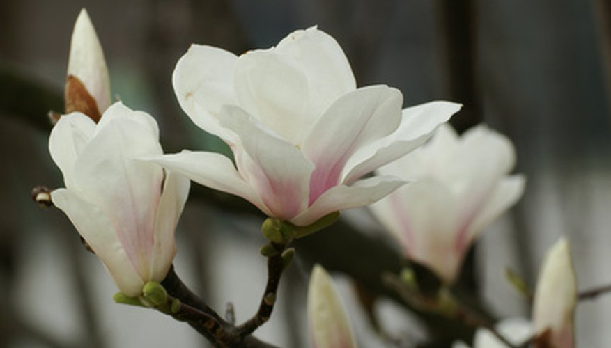 Magnolia trees produce pleasingly fragrant flowers.