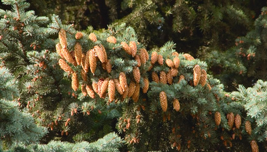 Green spruce is more popularly known as blue spruce.