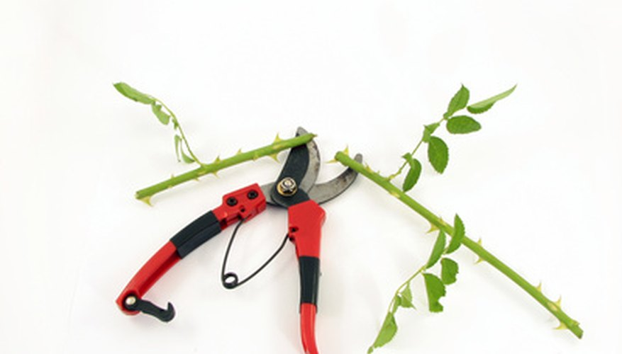 Roses can be easily grown from a stem cutting.