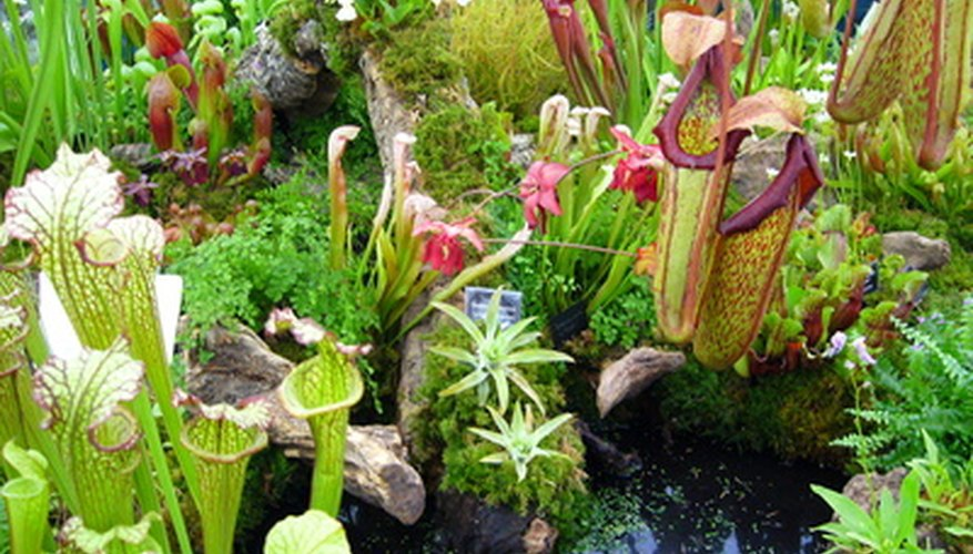 Pitcher plants are carnivorous plants that look like miniature pitchers.