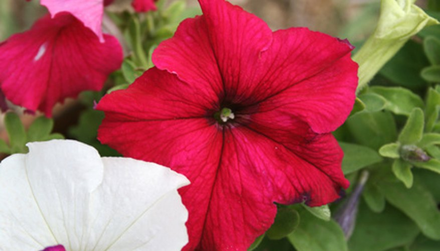 There are hundreds of varieties of petunias.