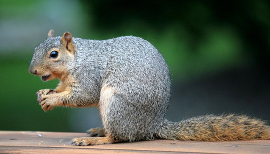 The walnuts you don't harvest will likely be gathered by squirrels.