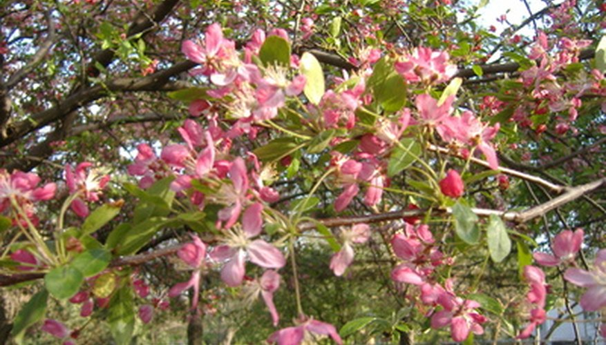 Flowering plum trees add beauty to a landscape.