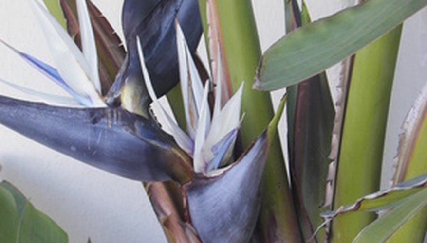 The white bird of paradise grows nearly 30 feet tall.