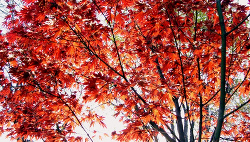 Maple trees have colorful leaves in the fall.