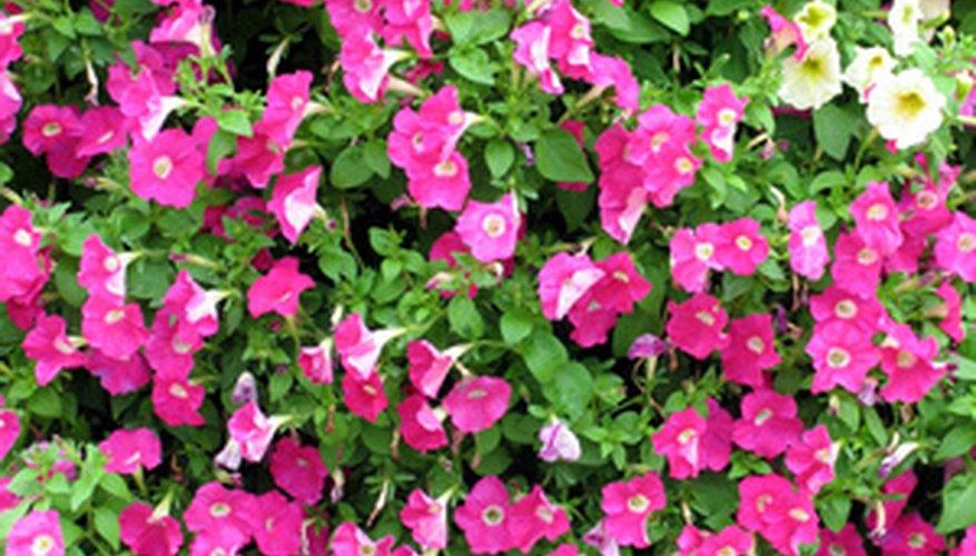 Wave Rose petunias produces a mass of hot pink flowers.