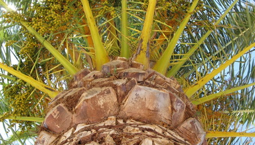 Palm trees are important in many different parts of the world.