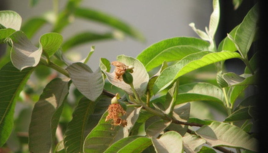 Guava rust can affect guava plants and other types of shrubs.