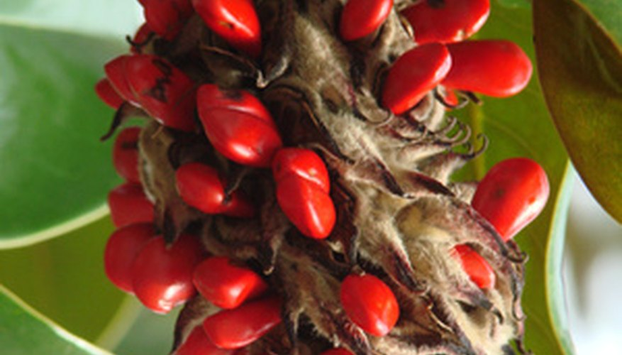 Southern magnolia seedpods contain several bright red berries.