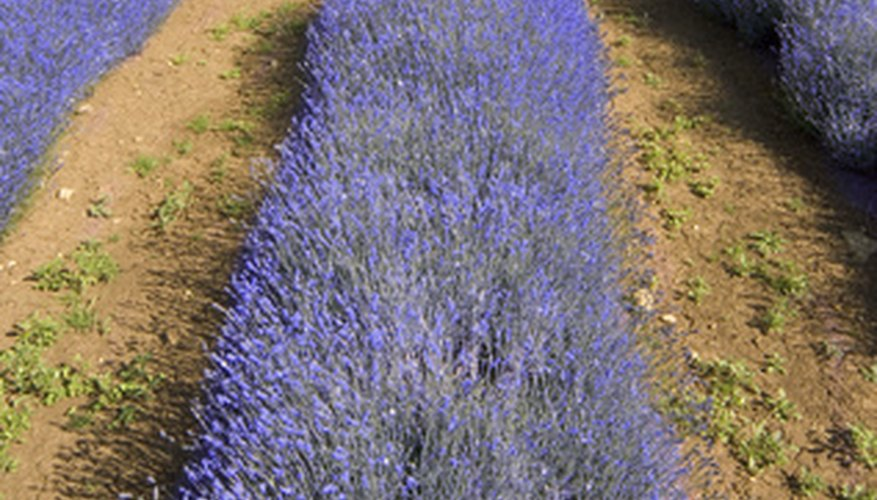 Rows of beautiful, fragrant lavender.