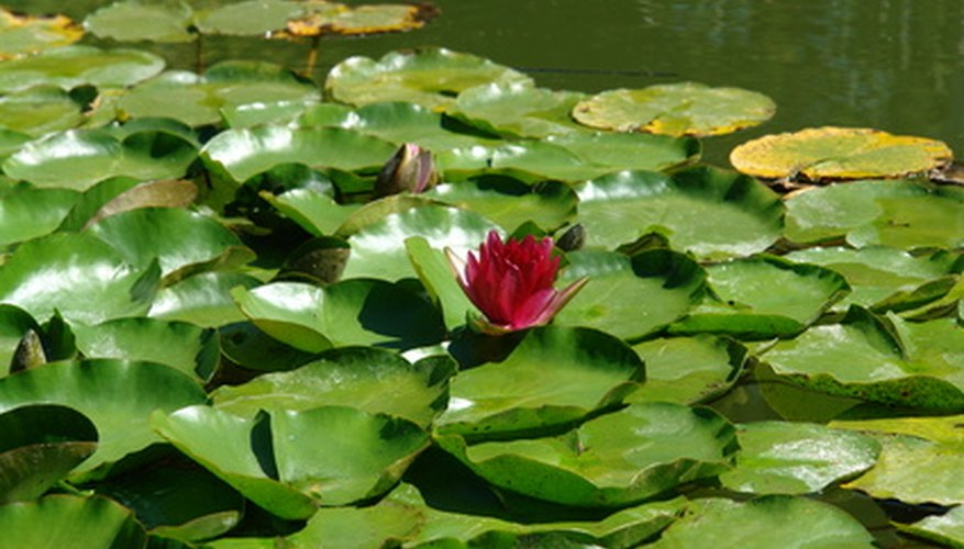 Water lilies grow from tubers anchored in the soft, muddy pond bottom.