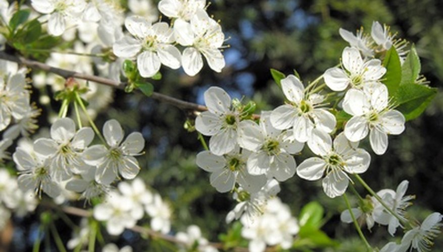 Some European plum varieties are self-pollinating.