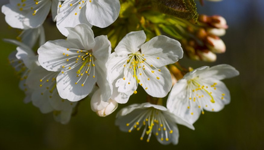 Autumn cherries produce white flowers from fall to spring.