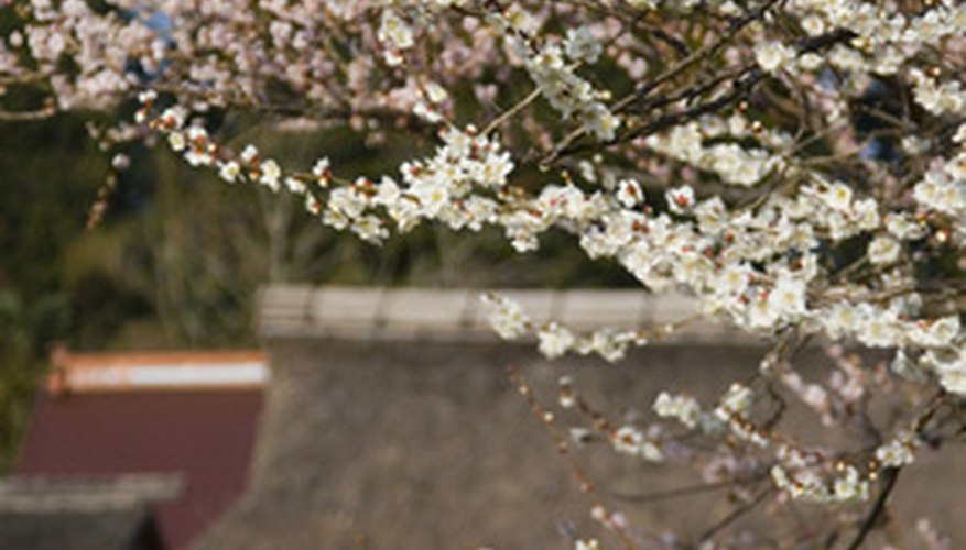 Japanese plums produce flowers in the spring and fruit later in the season.