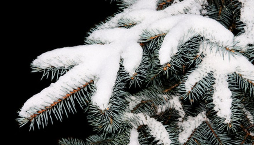 The blue-gray foliage of Colorado blue spruce