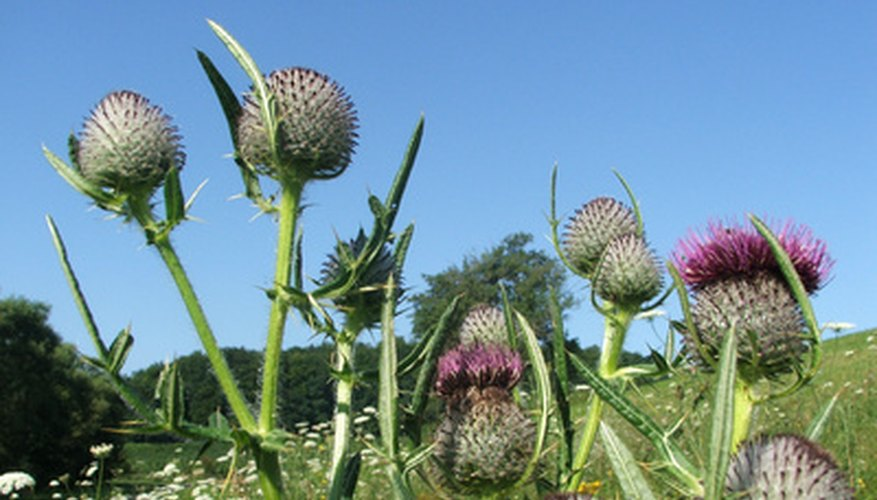 Thistles can be killed both by Brush-B-Gon or Roundup.