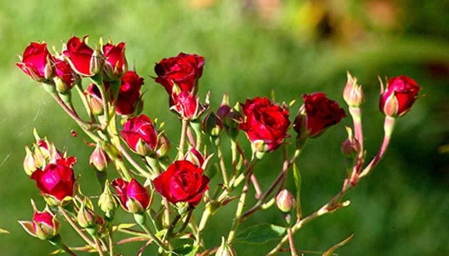 The blooms on miniature rose plant varieties are small making them suitable for a variety of crafts.