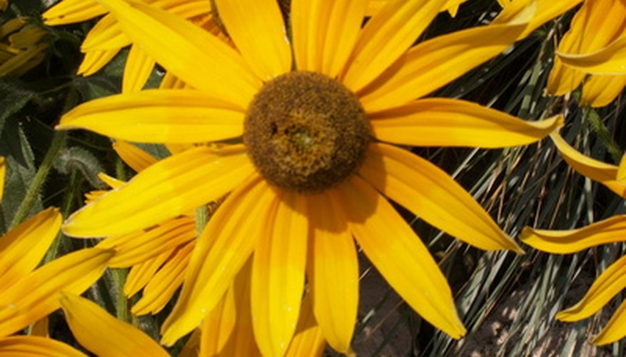 Black-eyed Susans are common flowers that you find in Wisconsin.
