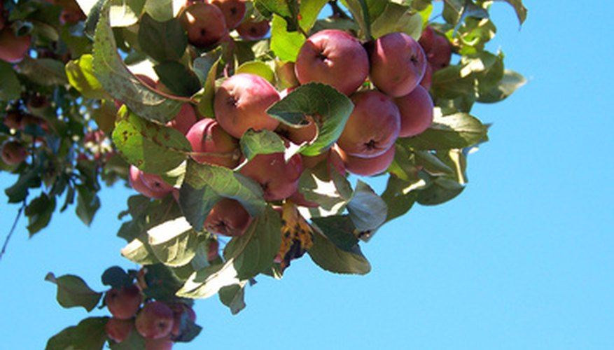 Choose the right type of apple tree for your location.