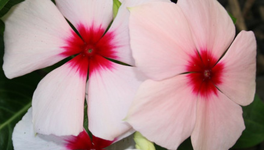 Propagate petunias from cuttings.