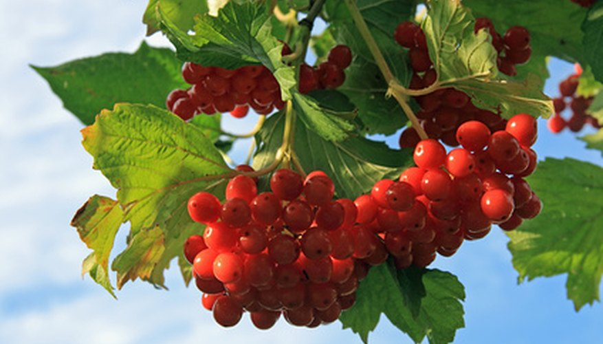 Highbush cranberry displays clusters of fruits in late summer and autumn.
