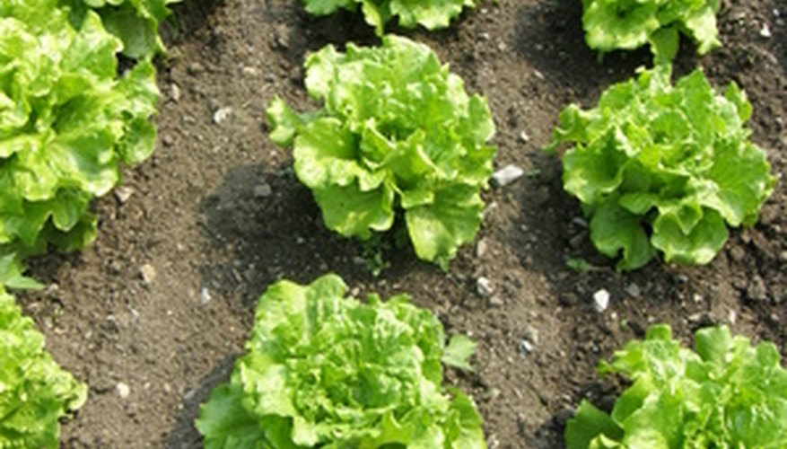 Lettuce will grow well in cooler weather.
