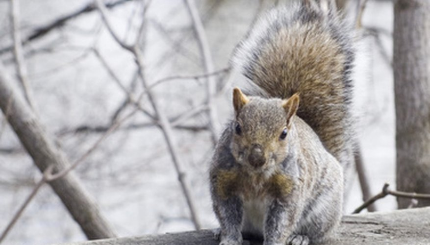 Squirrels may dig up bulbs when looking for winter food.