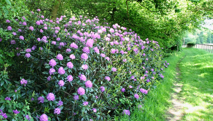Flowering shrubs add beauty to garden landscape.