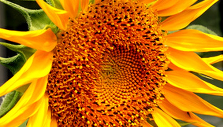 The large showy head of a sunflower.