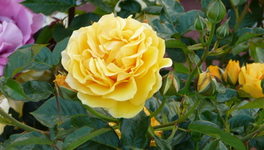 Feed roses for healthy foliage and flowers.