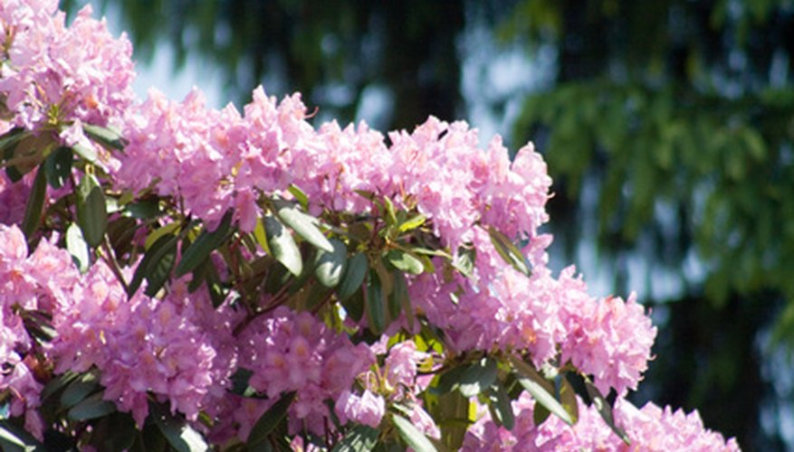 Rhododendrons are excellent for shade.