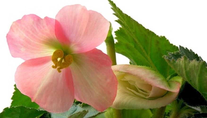 Begonias come in many colors, including pink.