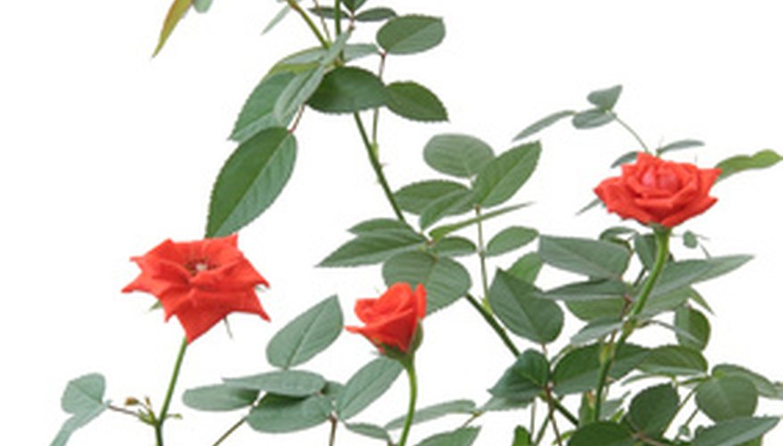 Secure climbing roses with stretchy ties.