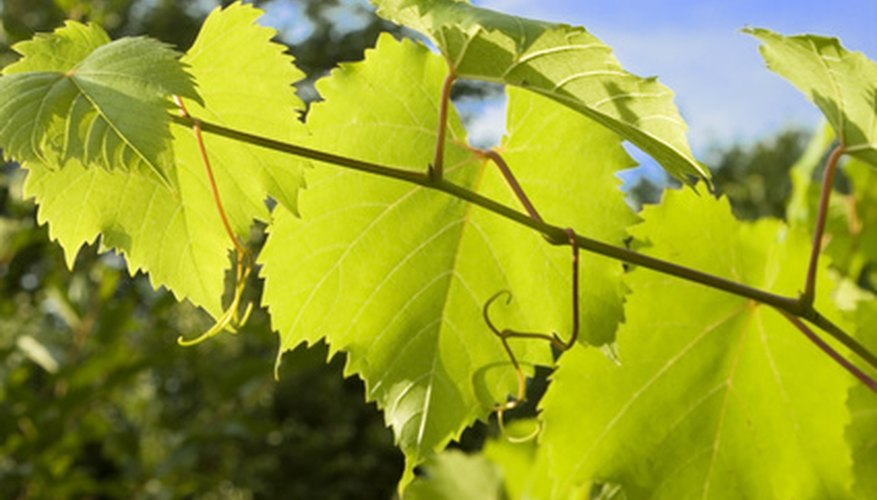 Healthy grapes have spotless green leaves and plump, firm fruit.