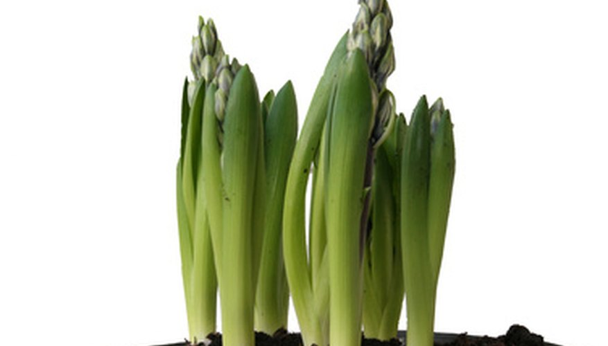 Spring bulbs can be planted in a pot as well as in the ground.