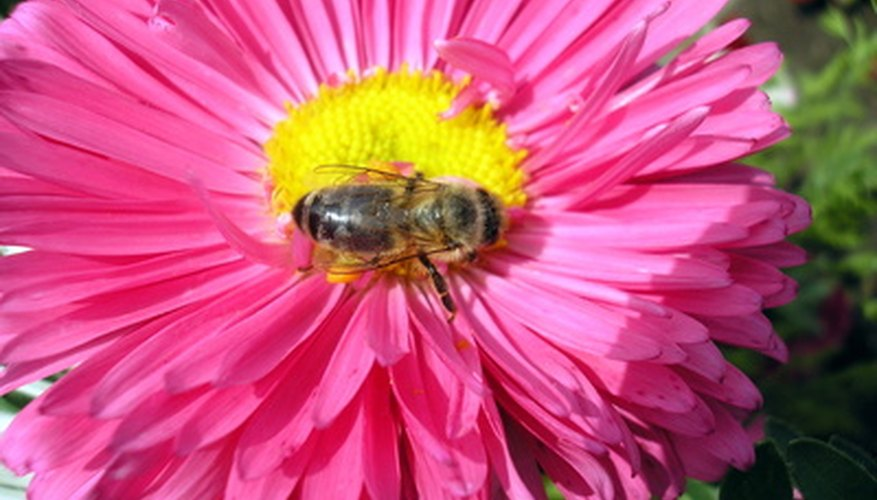 Bees collect and transfer pollen.