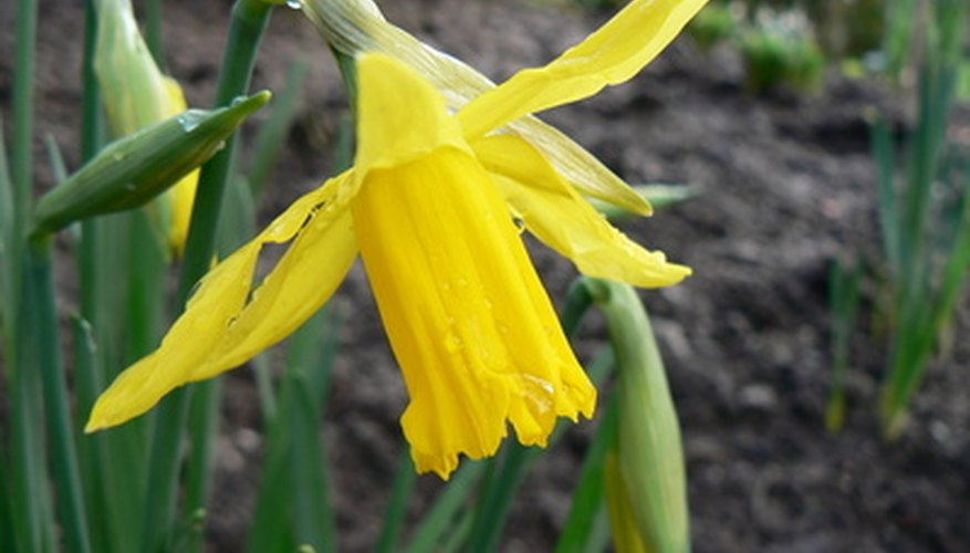 Daffodils are among the most commonly grown bulb.