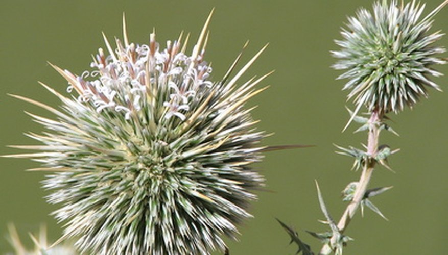 Thistle, a noxious weed, spreads quickly in left unchecked.