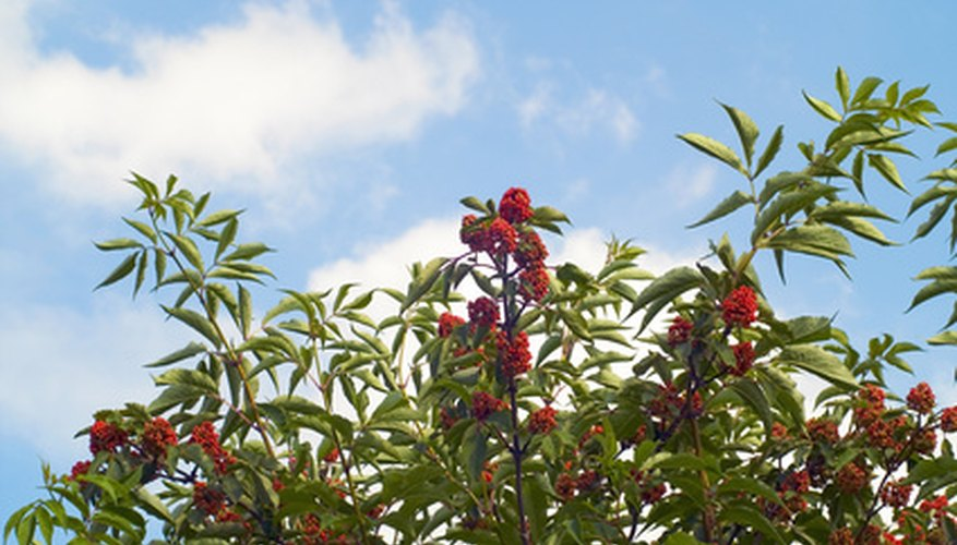 Viburnum can be propagated by taking softwood cuttings in late spring or early summer.