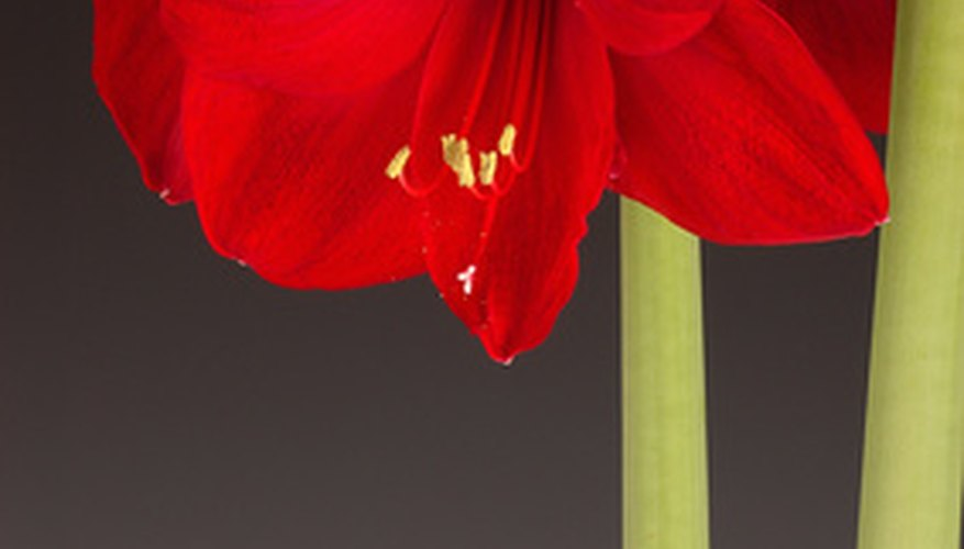 Red amaryllis blossoms