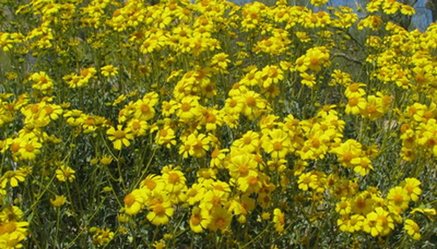 Flowers of the brittlebush look like daisies.