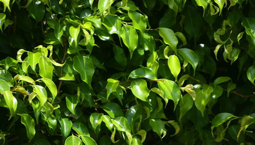 The glossy green leaves of Ficus benjamina.
