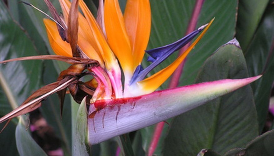 Bird of paradise is also known as crane flower for the bird-like shape of its blooms.