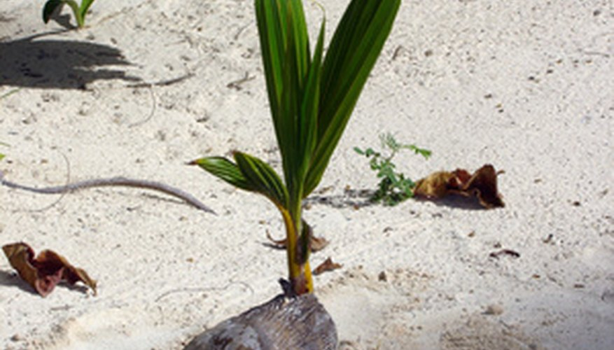 It's not difficult to sprout coconut palm trees.