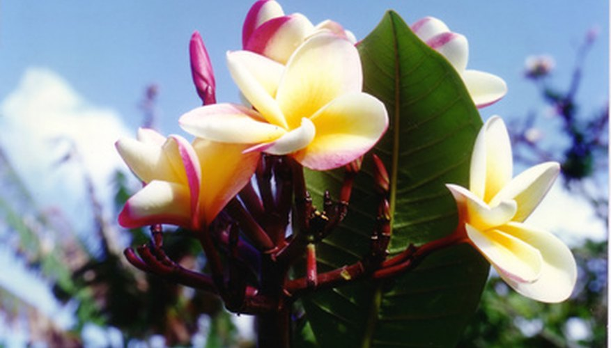 Plumerias are known for their beautiful and fragrant flowers.