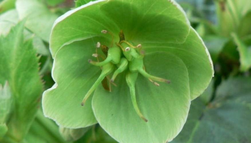 Hellebore plants produce blooms in a wide range of colors.