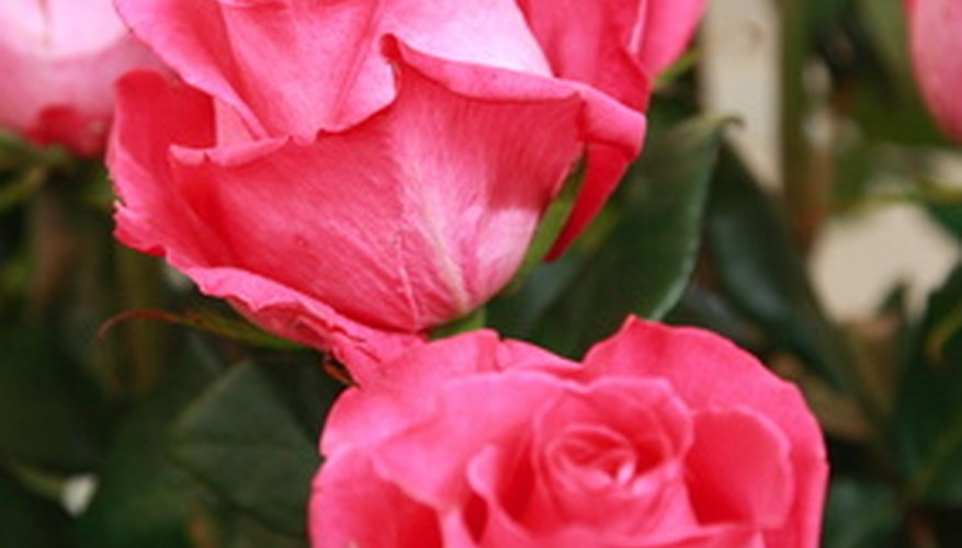 Shrub roses need to be prepared for winter.